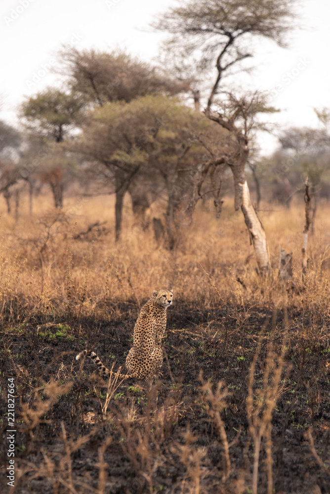Cheetahs in the African savanna. Safari in the savannah of Serengeti National Park, Tanzania. Close to Maasai Mara, Kenya. Burnt savanna landscape because of bushfire. Africa.