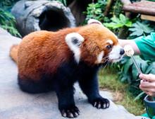 Cute Red Panda Live In Hong Ko...