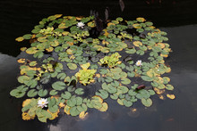 Lily Pads Flowers And Fish In A Pond