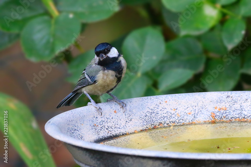 Great Tit Bird