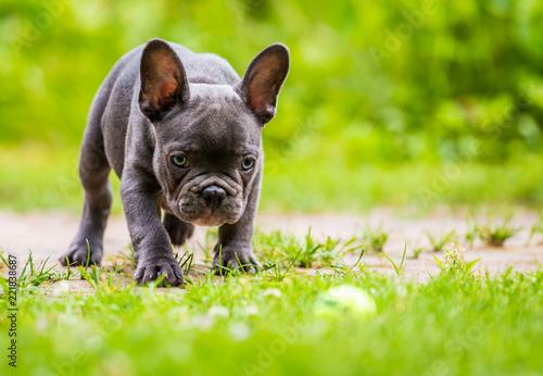 Foto op Canvas Franse bulldog eine junge Französische Bulldogge beobachtet einen Ball