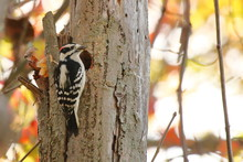 A Downy Woodpecker In The Autu...