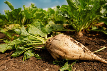 Harvested Sugar Beet Root Extracted From The Ground