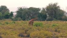 Giraffe Goes Through The Bushe...