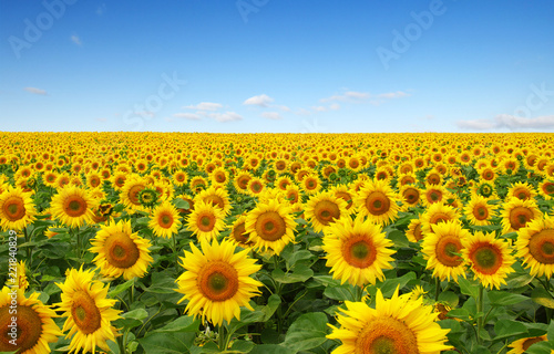 In de dag Zonnebloem sunflowers field on sky