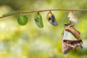 Transformaion of common nawab butterfly ( Polyura athamas ) emerged from caterpillar and chrysalis , metamorphosis , growth , life cycle hanging on twig