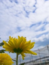 Close Up Yellow Chrysanthemum Flower Bloom Beautiful, Flower In Garden With Blue Sky, The Concept Of Summer Or Spring With Copy Space