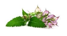 Clary Sage (Salvia Sclarea) Me...