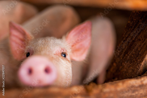 close up of cute pink pig in wooden farm with black eyes looking in camera