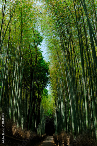 Bamboo forest, Kyoto Japan.