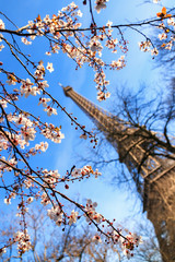 Fototapeta Paryż Beautiful pink blossom tree in front of the Eiffel tower on a blue sky winter day in Paris