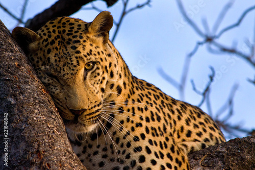Tuinposter Luipaard South Africa Leopard