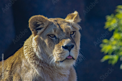 Foto  African lion close-up