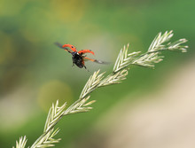 Little Beautiful  Ladybug Flies Up From A Blade Of Grass In A Summer Meadow Spreading Red Wings
