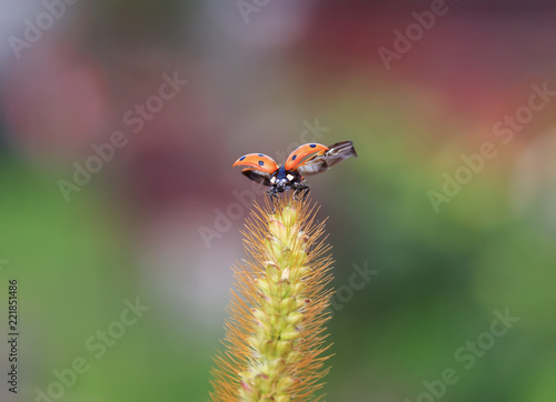 beautiful red ladybug flies up from a blade of grass in a summer meadow spreading wings