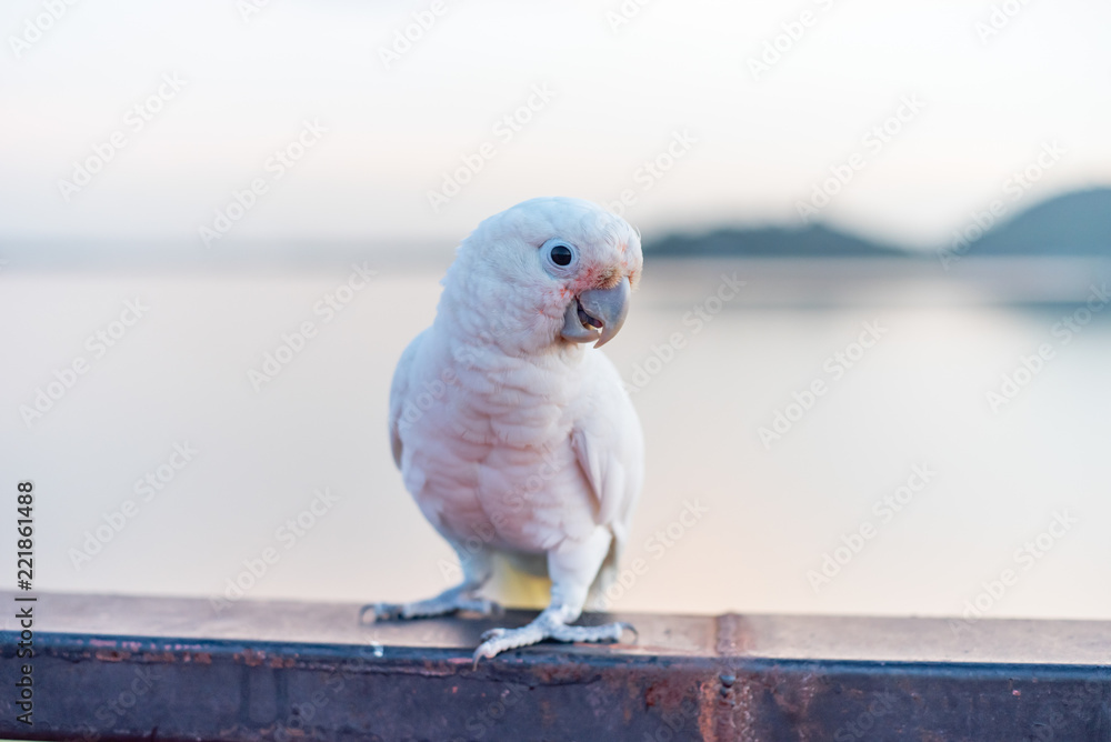goffin's cockatoo Bird standing on the Ram stairs