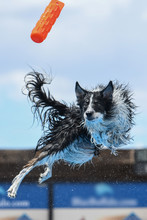 Border Collie Twisting In Mid ...