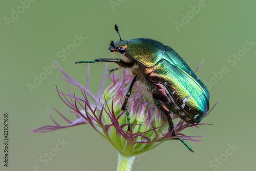 Canvas-taulu green rose chafer - Cetonia aurata