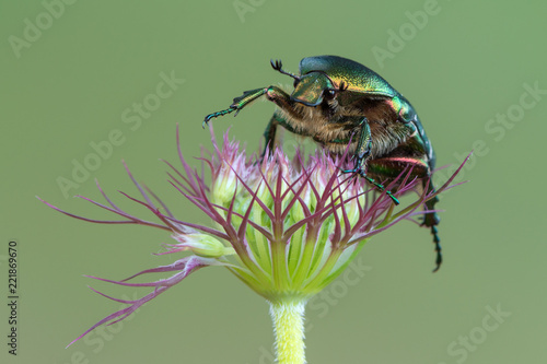 Valokuva green rose chafer - Cetonia aurata