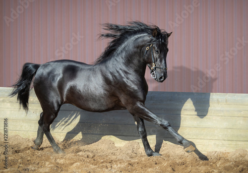 Obraz na plátně Beautiful black Andalusian horse running in paddock.