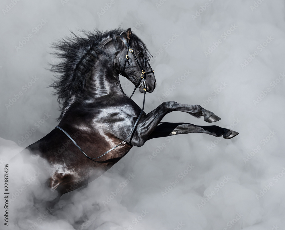 Black Andalusian horse rearing in smoke.