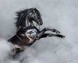 Czarny koń andaluzyjski hodowli w dymie. - 221871426