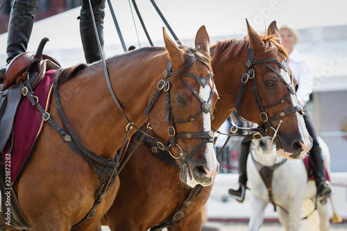 Photo  Two horses in a bridle and harness, portrait close-up