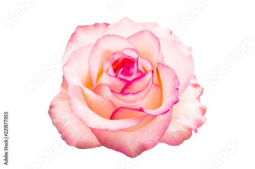 Fotografía  pink rose isolated