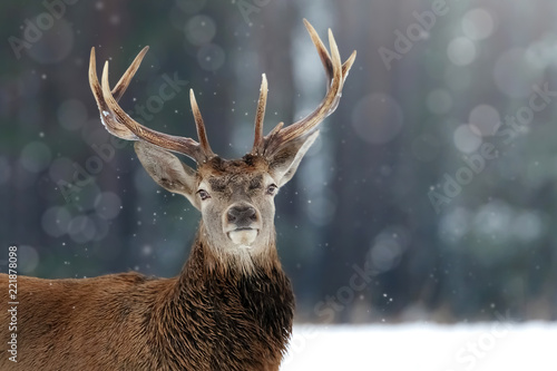 Noble deer male in winter snow forest. Winter christmas image.