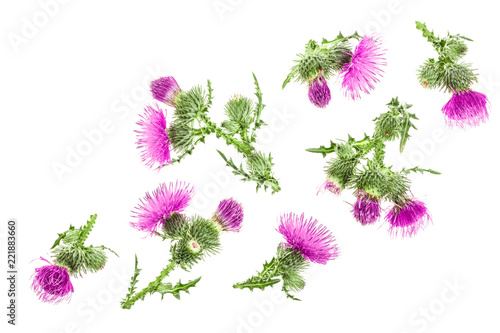 Canvas Print milk thistle flower isolated on white background with copy space for your text