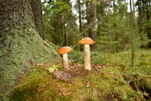Two Mushrooms With Orange Cap Growing In Moss Near The Pine Tree In Forest