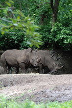 Pair Of Rhinos Standing In The Shade Of Trees