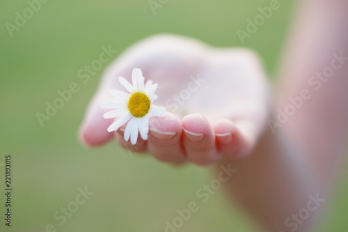 Foto op Canvas Madeliefjes Small gentle daisy in woman hand , romantic soft focus shot, pure nature, environmental concept