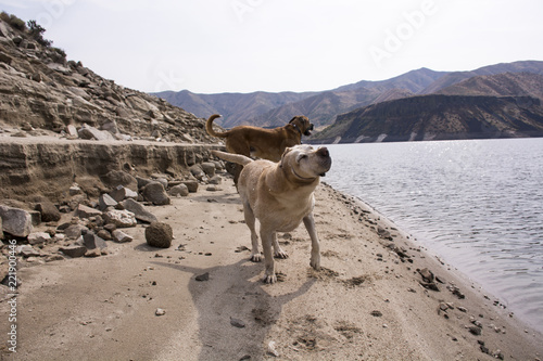 post swim dogs Fototapet