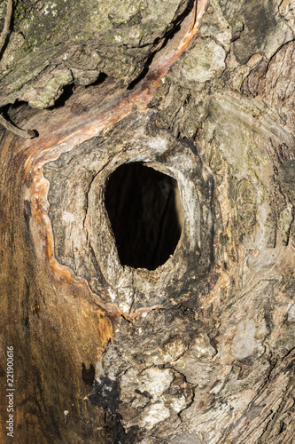the hollow in the trunk of an apple tree, close-up abstract background, selectiv Fototapeta