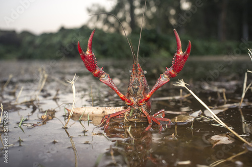 Red swamp crawfish near Guadiana riverside, Badajoz, Spain