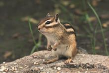 Chipmunk In Nature