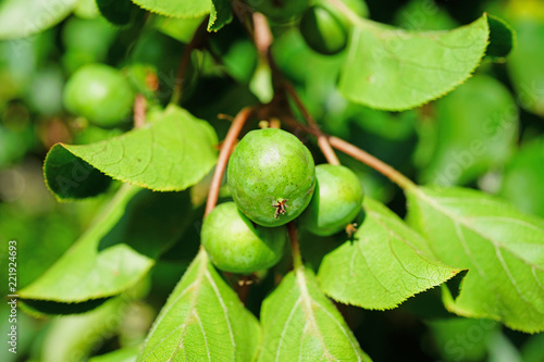 Photo Green baby kiwi fruit actinidia arguta growing on the vine