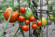 Close Up Of Tomatoes Ripening On Plant Vine