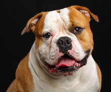 American Bulldog Dog  Isolated  On Black Background In Studio
