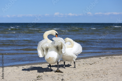 Group of beautiful white swans on a sandy beach in Sopot, Poland
