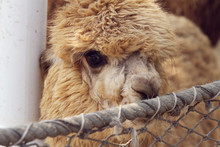 Big Eyes Alpaca In Front Of A Fence