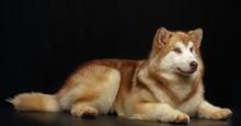 Alaskan Malamute Dog On Isolated Black Background In Studio