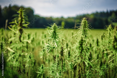 Photo  Cannabispflanzen unter freiem Himmel