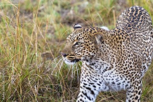 The leopard conceals prey. Masai Mara, Kenya