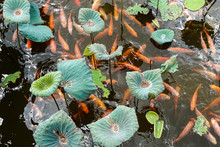 Tranquil Koi Pond With Lily Pads And Lotus Flower