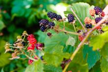 Ripening Blackberries Growing In The Garden Macro