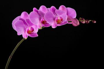 Fototapeta na wymiar Purple Phalaenopsis orchid flowers on black background.