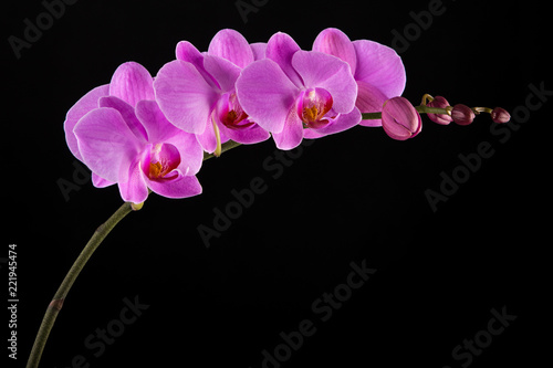 Purple Phalaenopsis orchid flowers on black background.