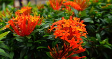 Image Of Orange Spike Flowers Or Ixora